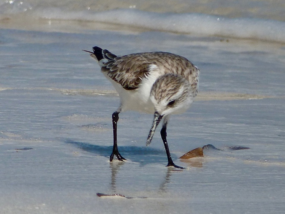 sanderling-on-delphi-beach-abaco-keith-salvesen-5