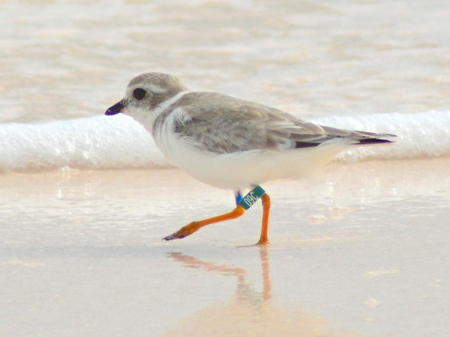 Piping Plover Jonesy, Abaco, Bahamas 2016 (Keith Kemp)