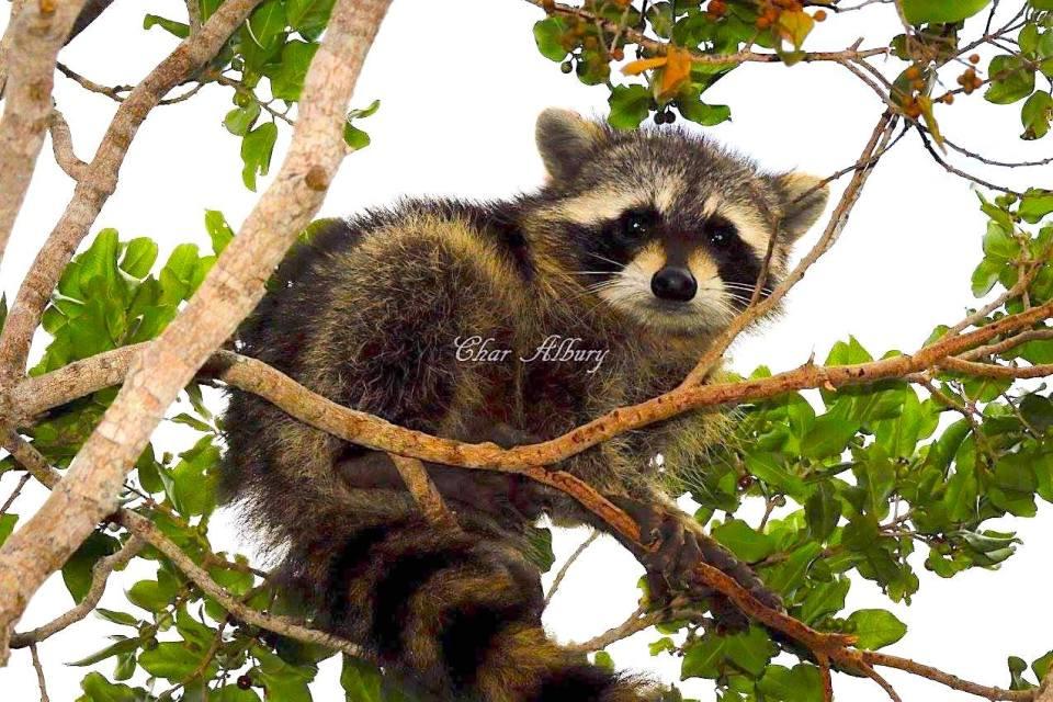 Raccoon, Abaco, Bahamas (Charmaine Albury)