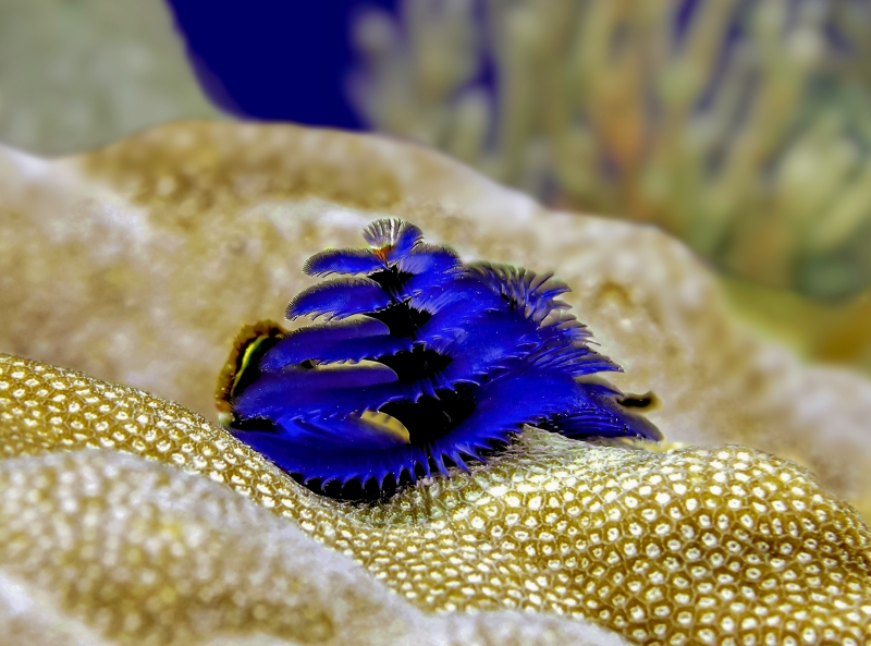 blue_christmas_tree_worm-betty-wills-wiki