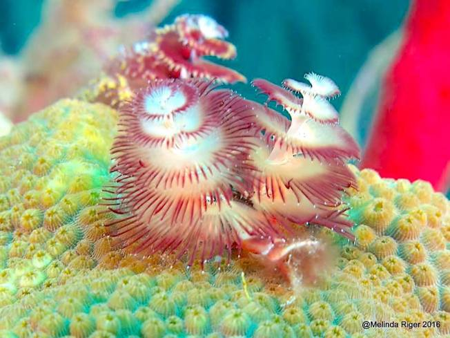 Christmas Tree Worms, Bahamas (Melinda Riger)