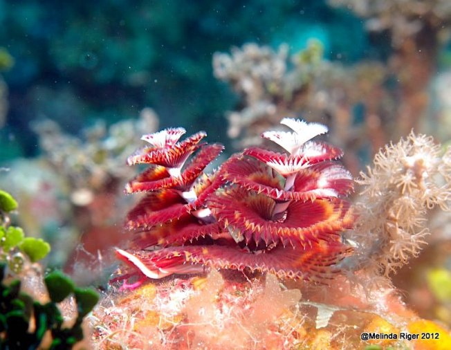 christmas-tree-worms-melinda-riger-g-b-scuba
