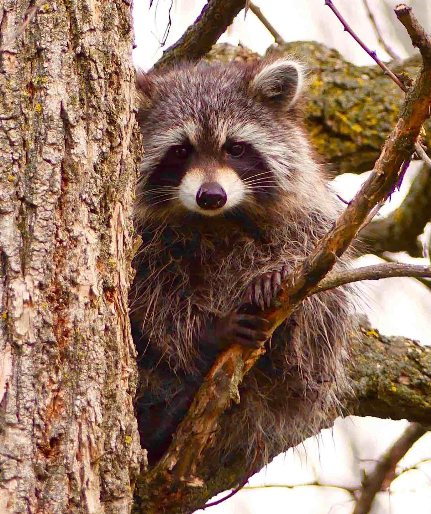 Raccoon (Cheryl Wile Ferguson)