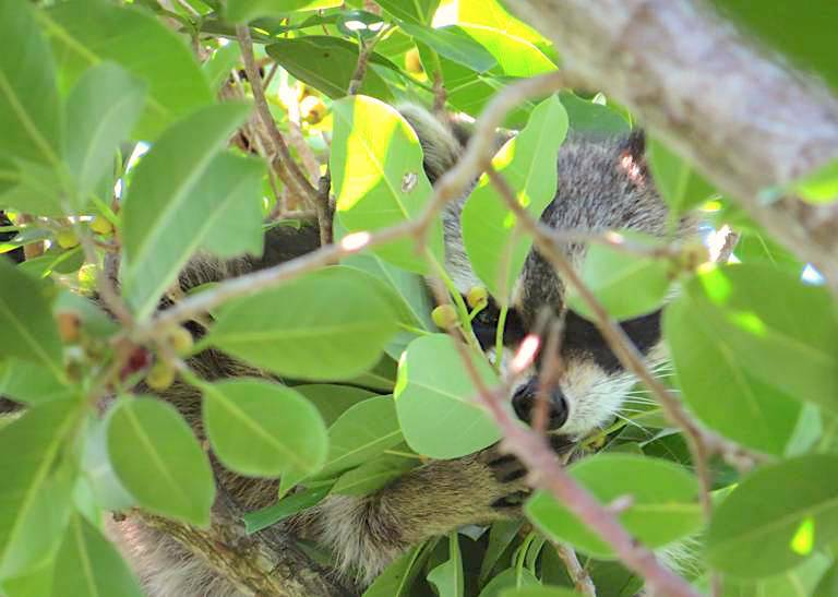 raccoon-abaco-becky-marvil