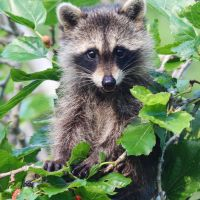RACCOONS ON ABACO: A MIXED BLESSING?