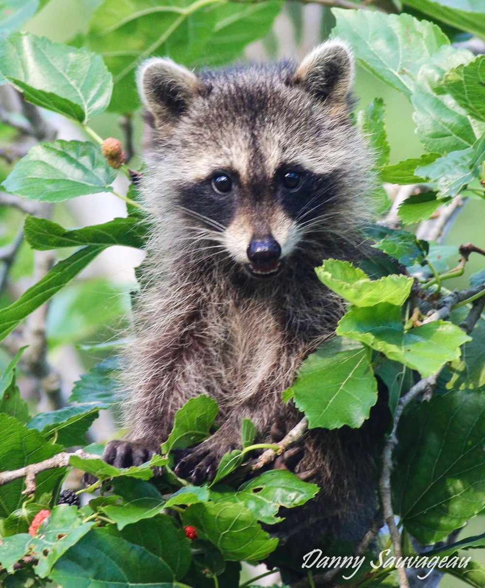 raccoon-danny-sauvageau