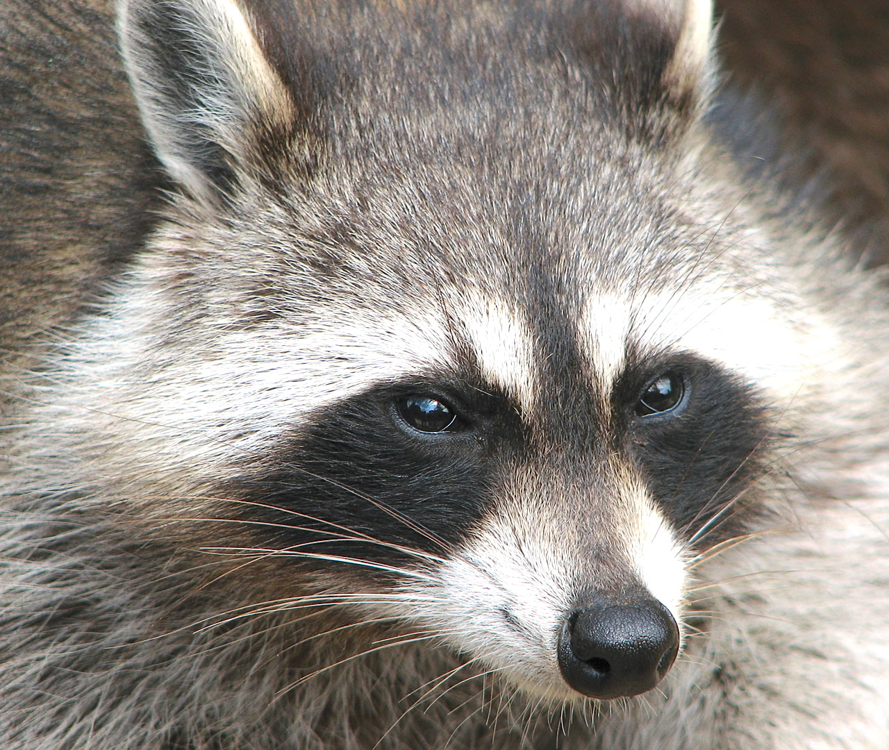 raccoon_procyon_lotor_2 wiki