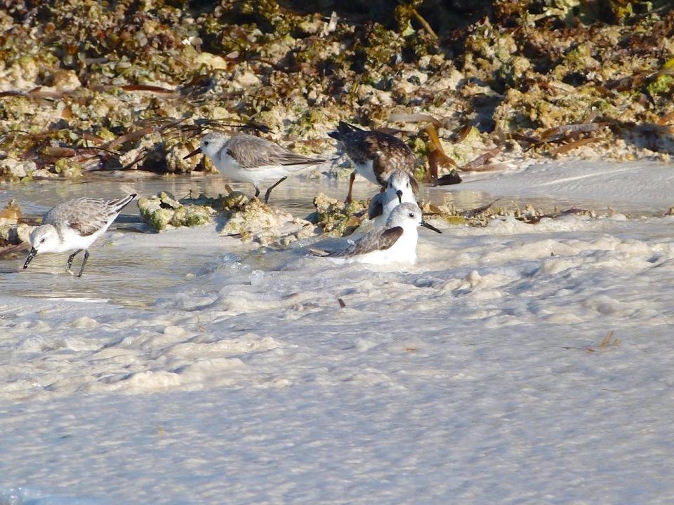 Sanderling Bath Time, Delphi Beach Abaco Bahamas - Keith Salvesen