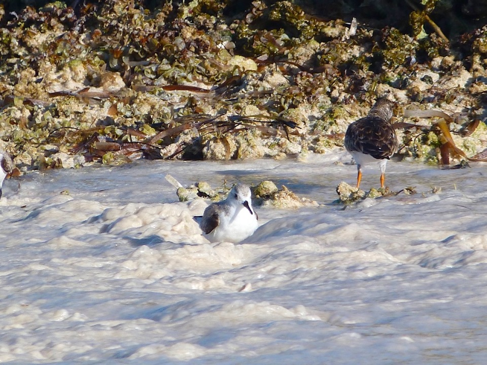 Sanderling Bath Time, Delphi Beach Abaco Bahamas - Keith Salvesen