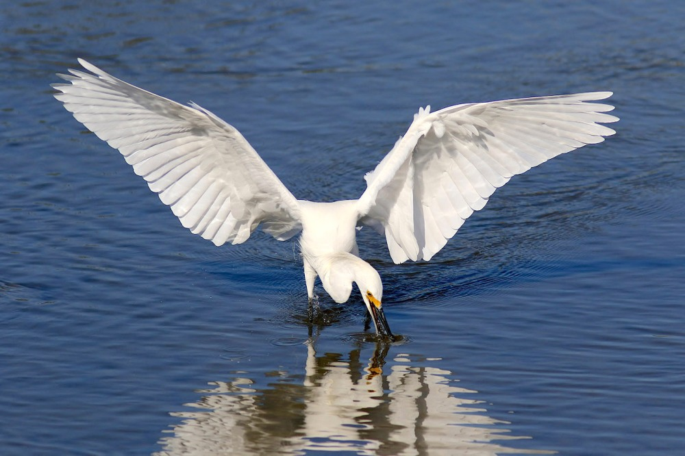 "Snowy Egret ""snowball-snags-dinner"" (Phil Lanoue)"