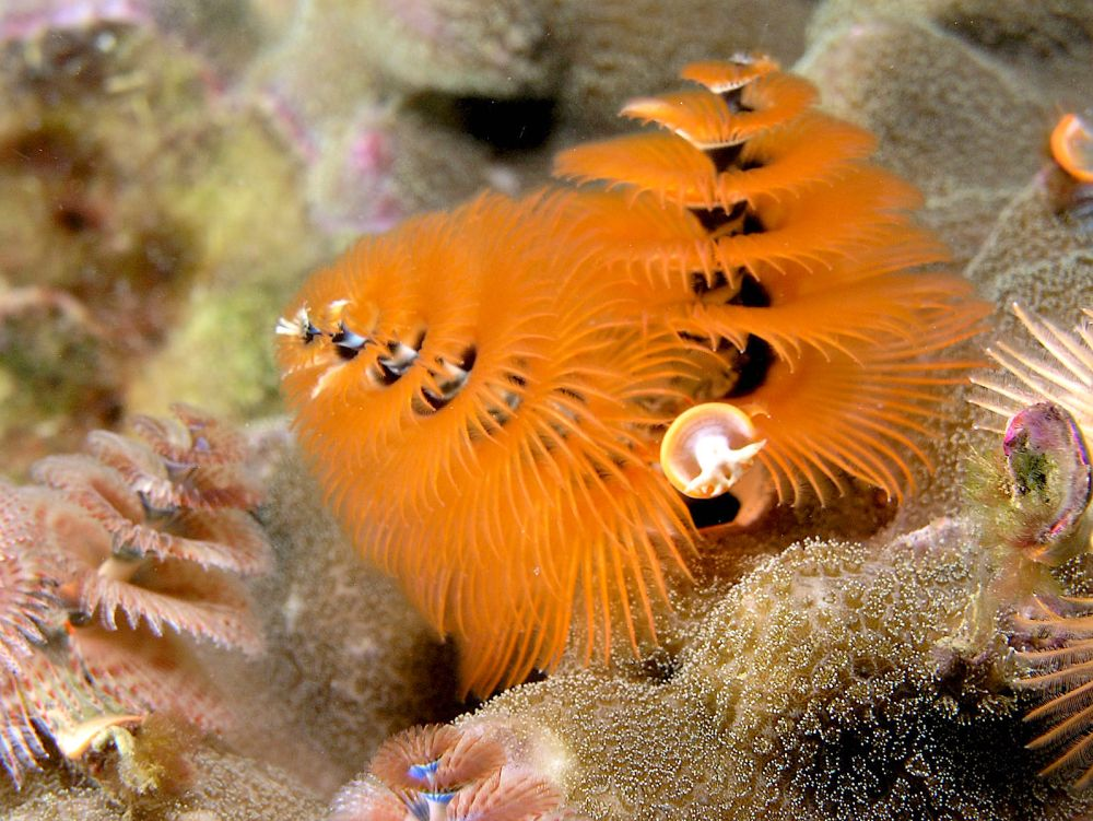 spirobranchus_giganteus_orange_christmas_tree_worm-nick-hobgood-wiki