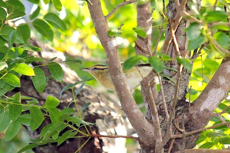 Worm-eating Warbler, Man-o-War Cay Abaco (Charmaine Albury)