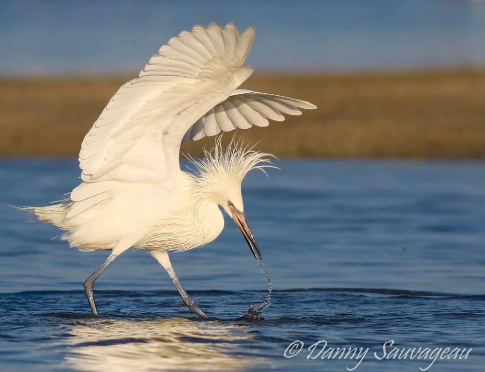 Reddish Egret (White Morph) Hunting - Danny Sauvageau