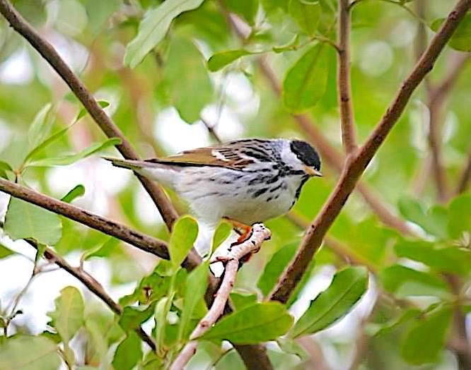 Blackpoll Warbler, Man-o-War Cay, Abaco (Charmaine Albury)