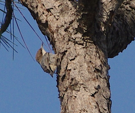 bahama-nuthatch-grand-bahama-robert-norton