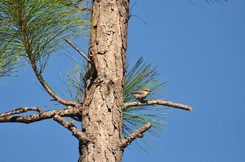 bahama-nuthatch-owl-hole-rd-grand-bahama-bruce-purdy