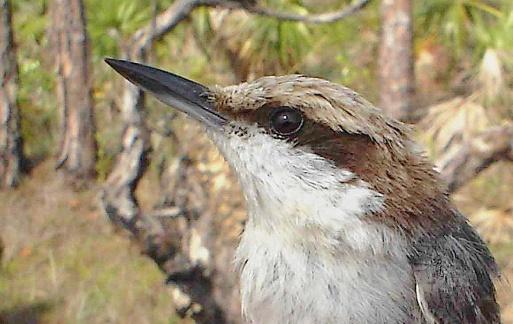 bahamas_nuthatch-birdlife-org
