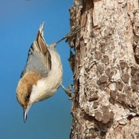 BAHAMA NUTHATCH: TINY, RARE, A HOP AWAY FROM ABACO...