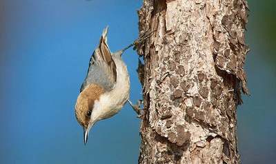 Bahama Nuthatch (Erika Gates / Bahamas Weekly Article)