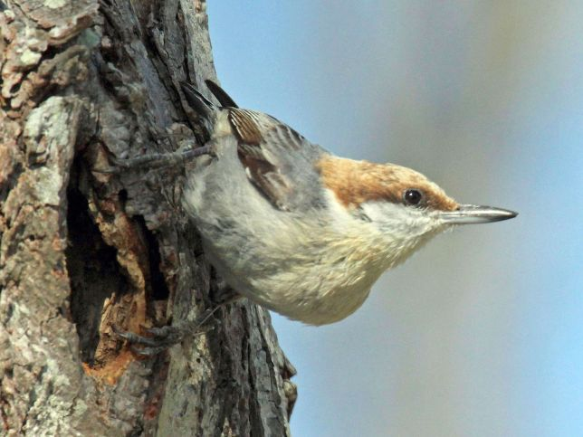 brown-headed_nuthatch-dick-daniels-nc-wiki