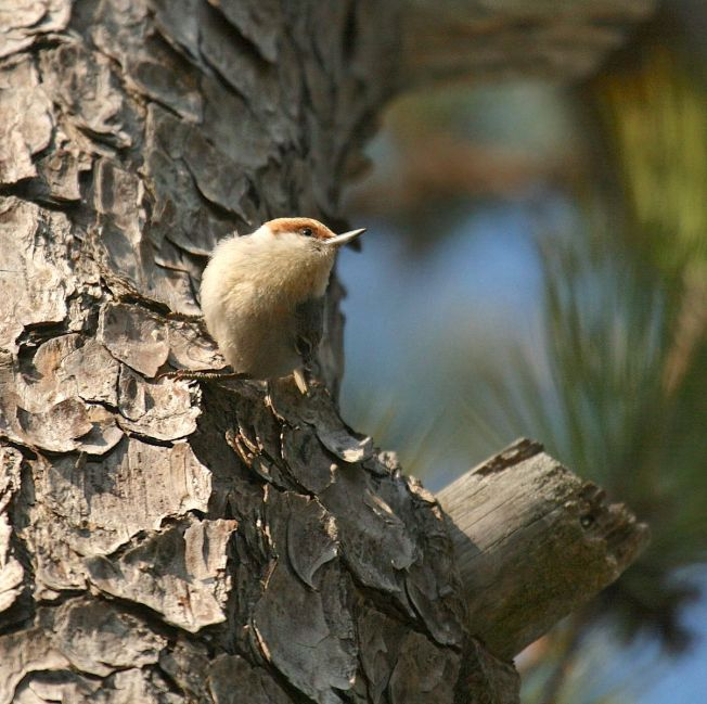 brown-headed_nuthatch-matt-tillett-md_