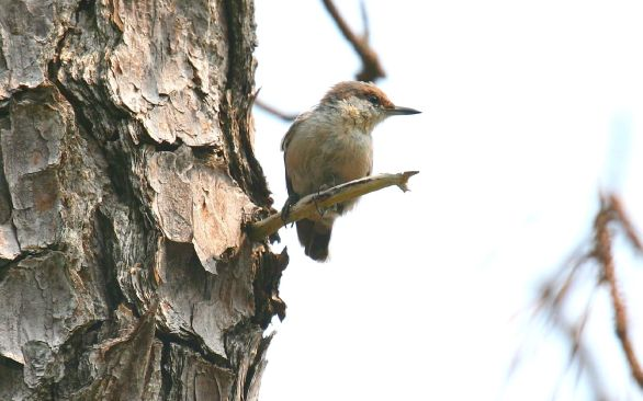 brown-headed_nuthatch-matt-tillett-md_5