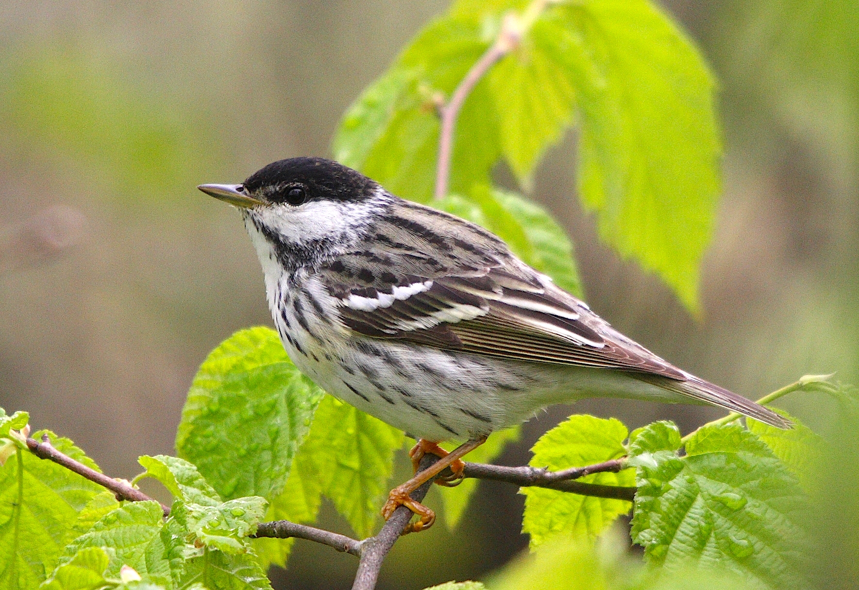 Blackpoll Walbler dendroica_striata_mn-cephas-wiki
