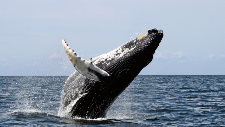 humpback_stellwagen-whit-wells-wiki