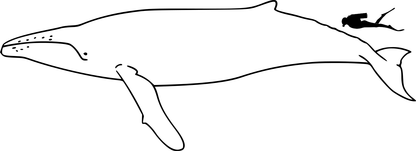 humpback_whale_size-svg