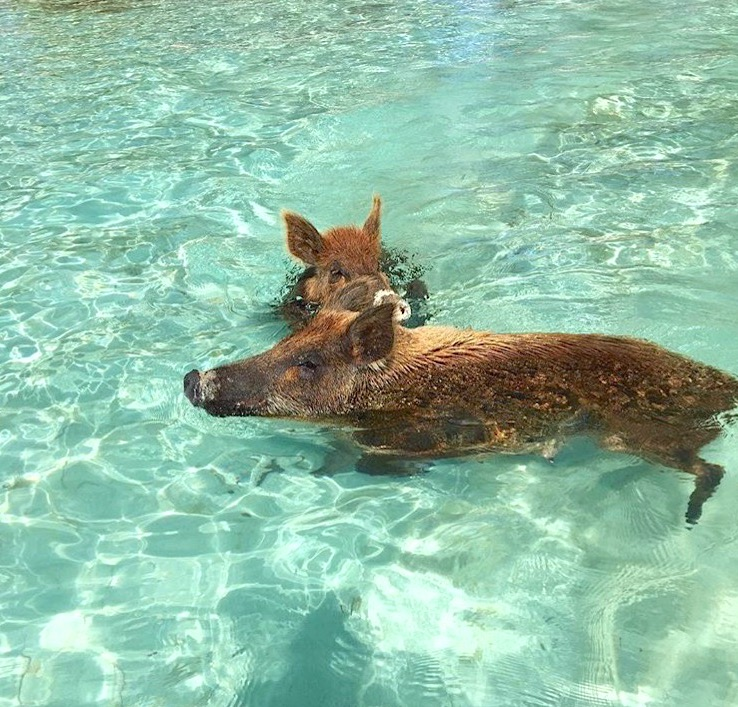 Swimming Pigs, No Name Cay, Abaco (Craig Russell)