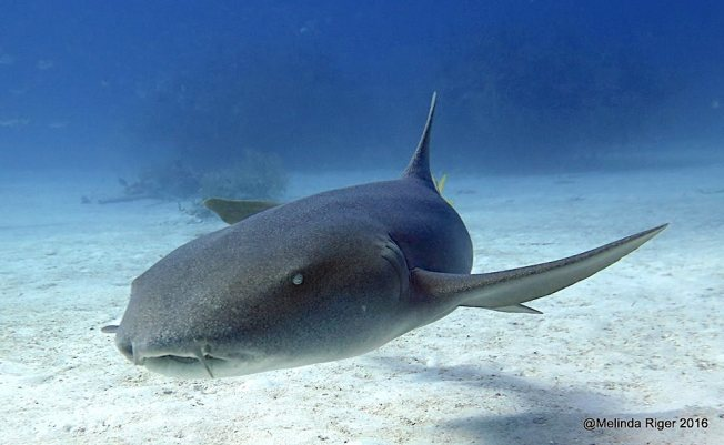 nurse-shark-8-16-melinda-riger-gb-scuba