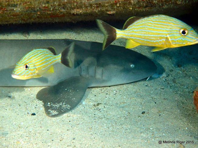 nurse-shark-juv-melinda-riger-g-b-scuba