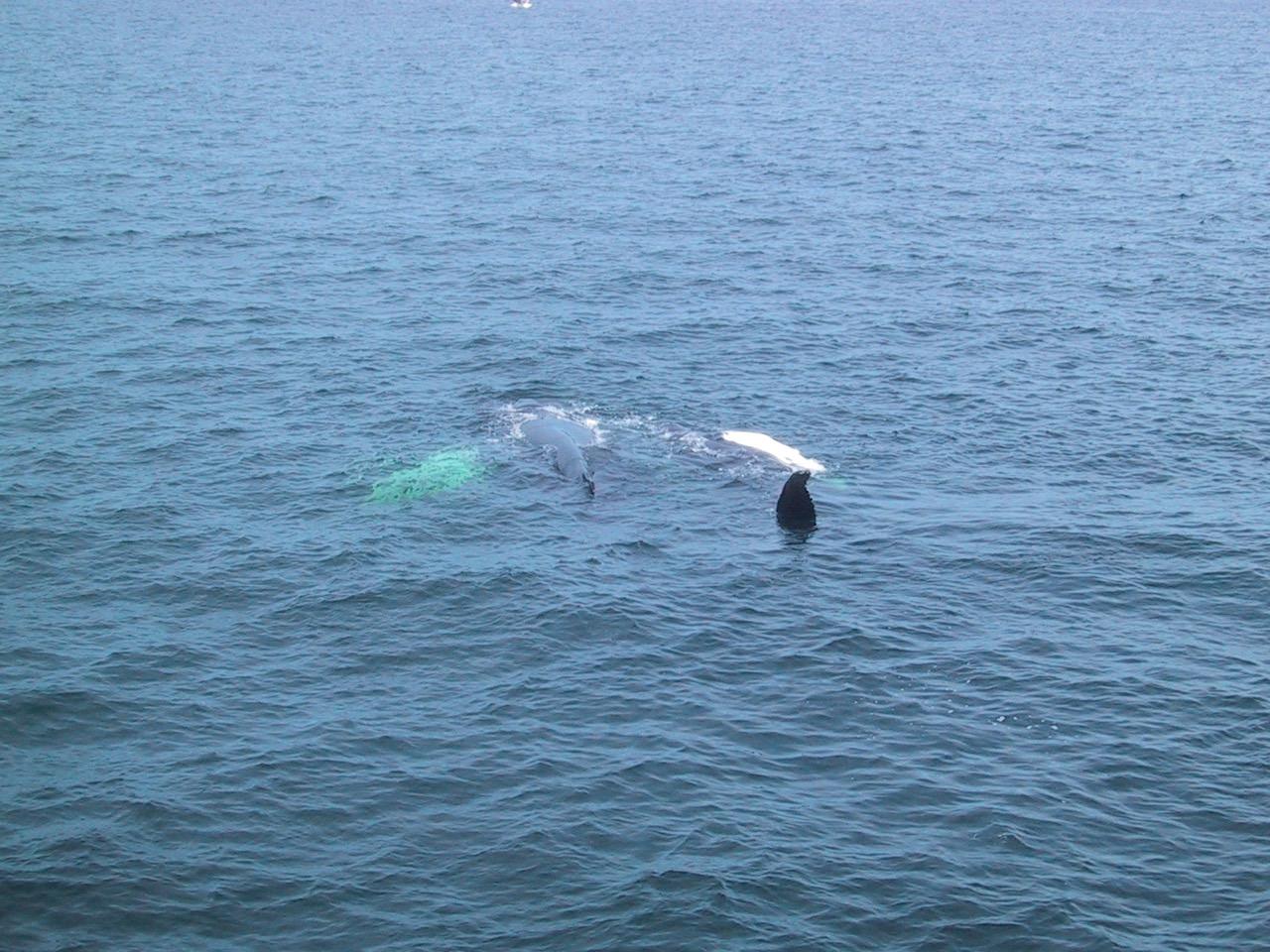 stellwagen-humpbacks-keith-salvesen-3