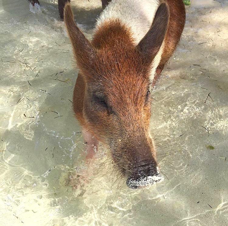 swimming-pigs-no-name-cay-abaco-samantha-regan