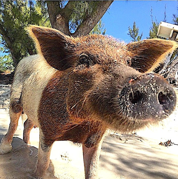 PIGGYVILLE: HOME OF THE SWIMMING PIGS OF ABACO | ROLLING