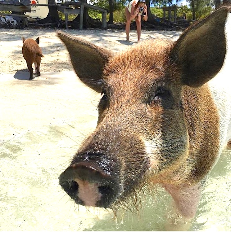 swimming-pigs-of-no-name-cay-abaco-copy