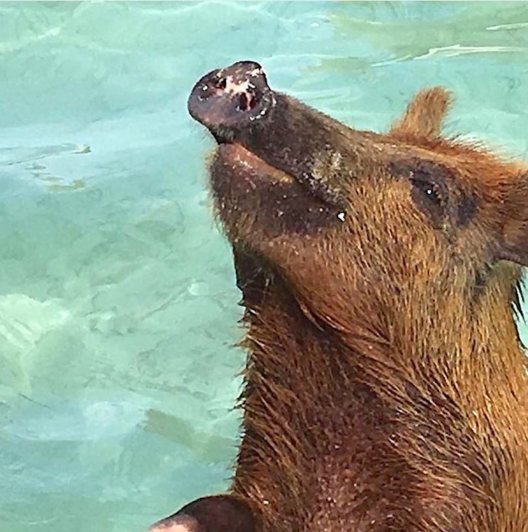 swimming-pigs-of-no-name-cay-abaco-tim-mantle