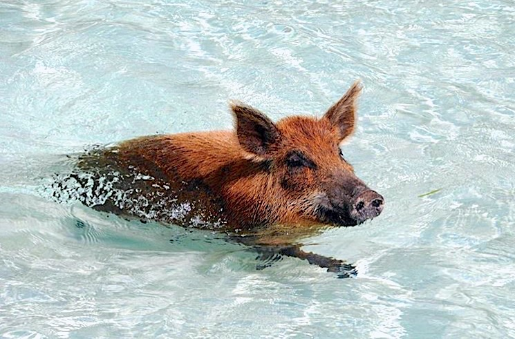 swimming-pigs-of-no-name-cay-abaco