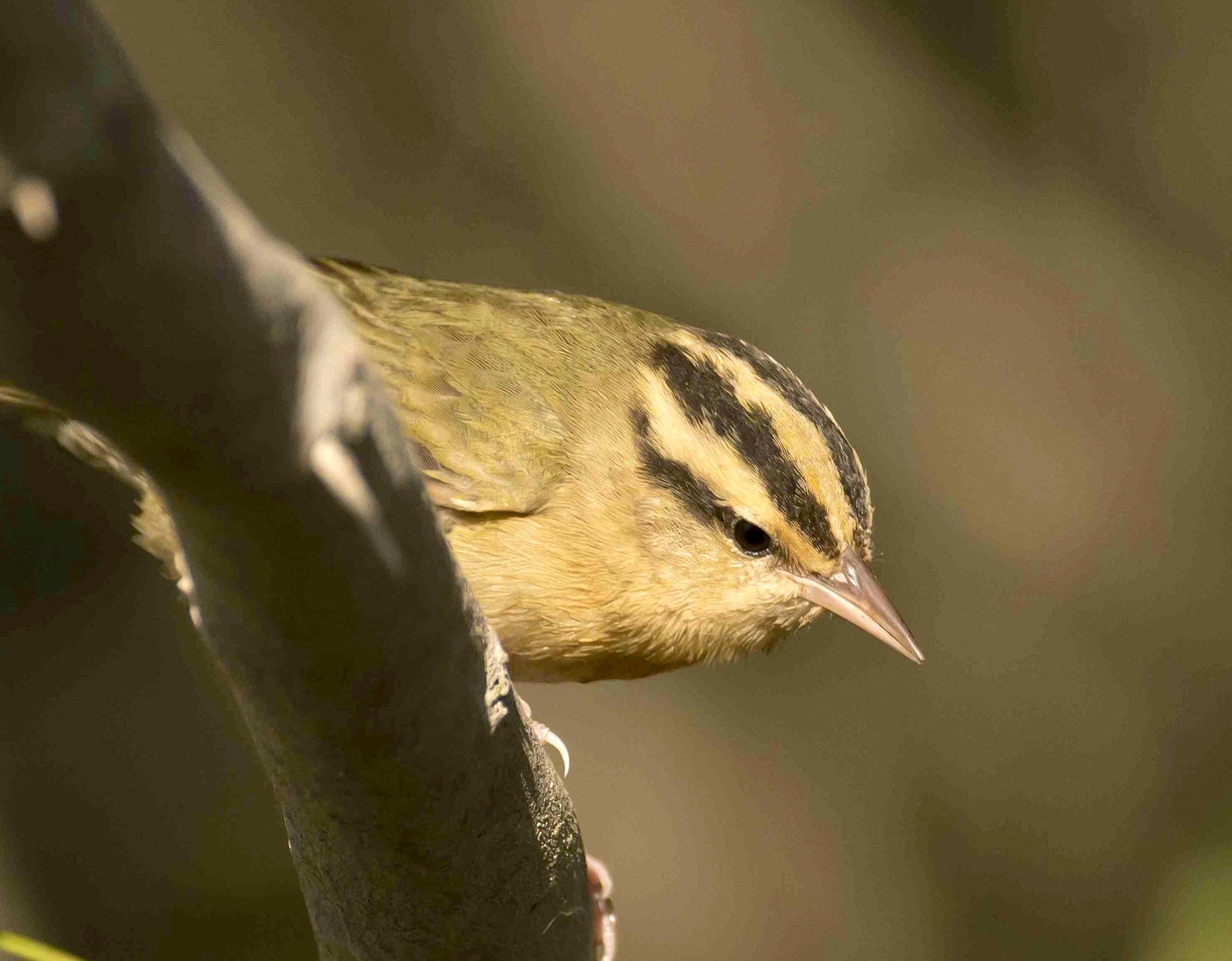 worm-eating-warbler-bahama-palm-shores-abaco-bahamas-3-12-tom-sheley-small-copy