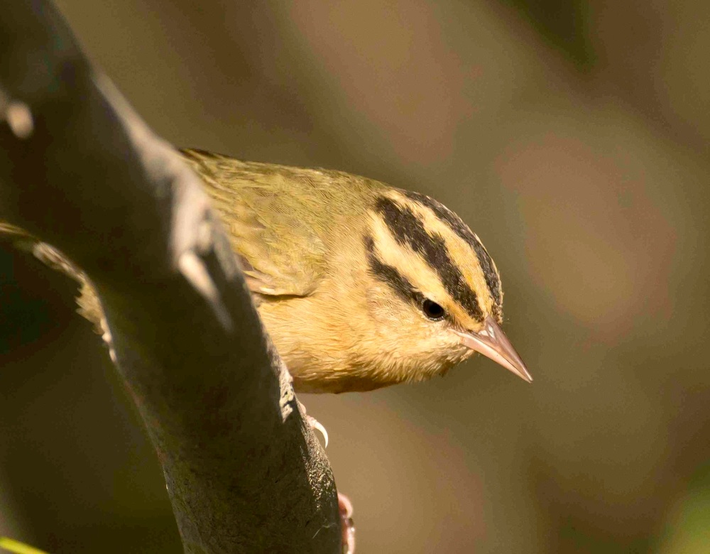 worm-eating-warbler-bahama-palm-shores-abaco-bahamas-3-12-tom-sheley-small-copy