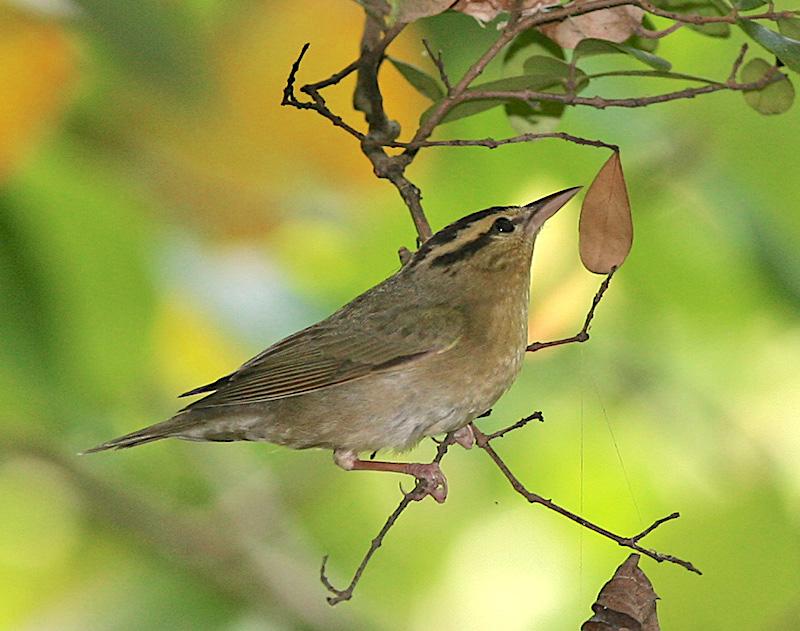 worm-eating_warbler-tom-friedel-birdphotos-com-wiki