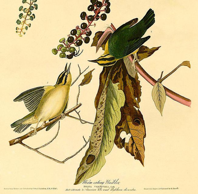 worm_eating_warbler_audubon-copy