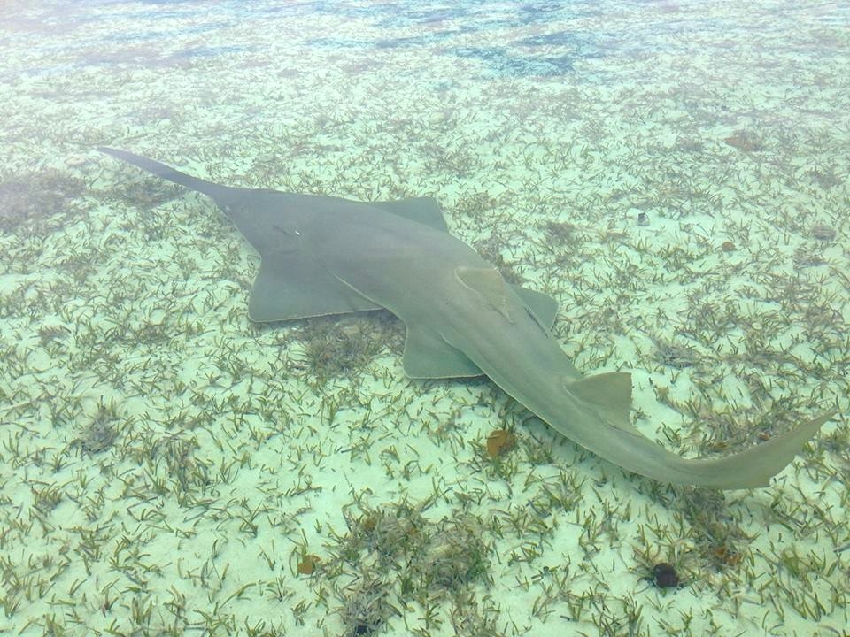 Sawfish Grand Bahama (BNT / Buzz Cox)
