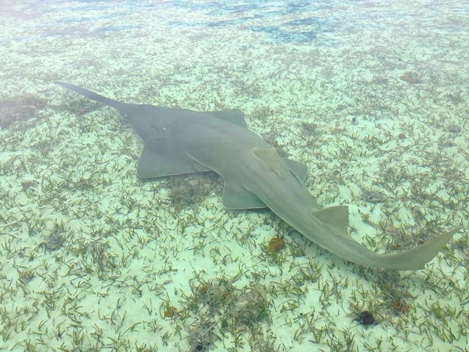 Sawfish Grand Bahama (BNT / Buzz Cox)
