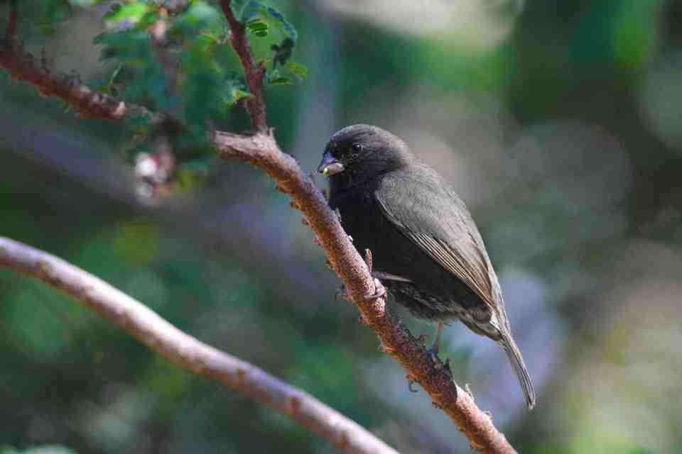 Black-faced Grassquit male, Abaco (Gerlinde Taurer)