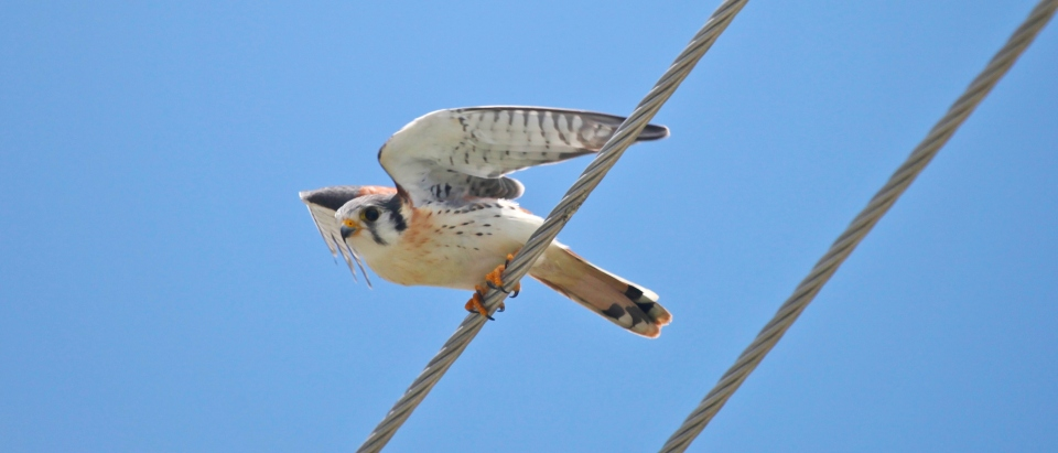 american-kestrel-abaco-2-peter-mantle