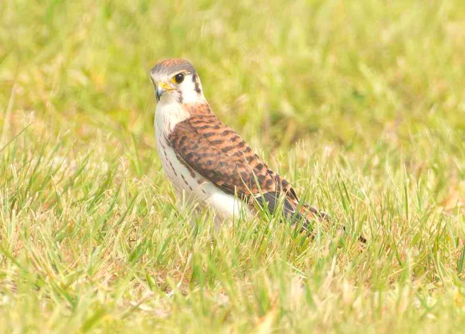 american-kestrel-abaco-bahamas-tom-sheley-copy