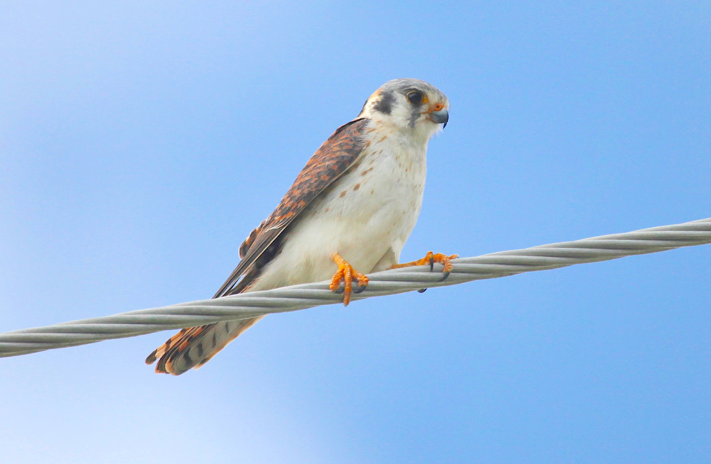 american-kestrel-abaco-peter-mantle-copy
