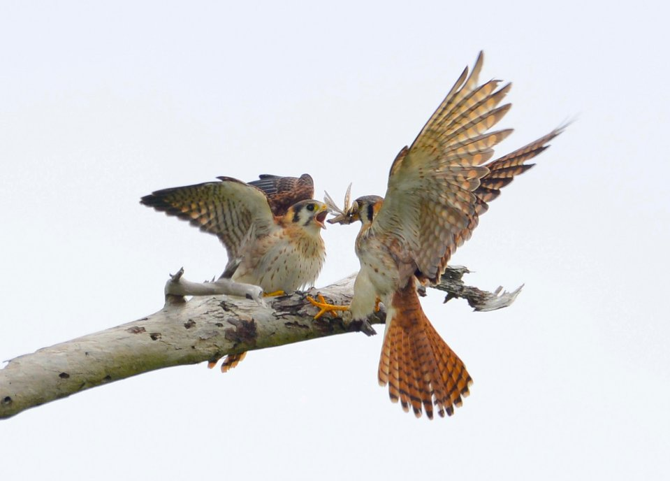 american-kestrel-feeding-fledgling-2-delphi-club-abaco-bahamas-tom-sheley