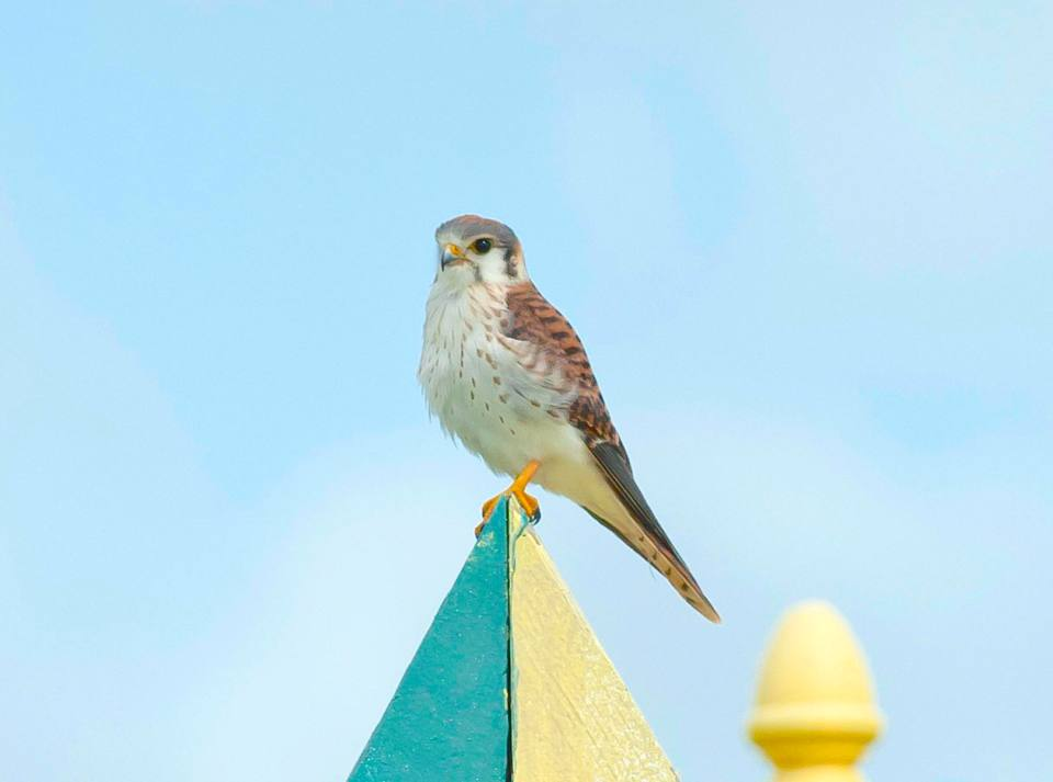 american-kestrel-treasure-cay-abaco-bahamas-6-13-tom-sheley